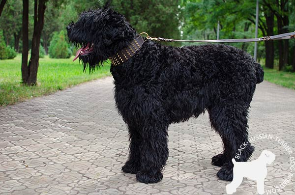 Convenient walking Black Russian Terrier wide leather collar