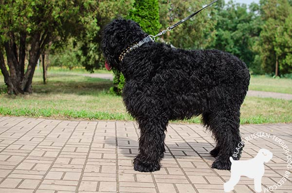Black Russian Terrier genuine leather collar for daily stylish walking