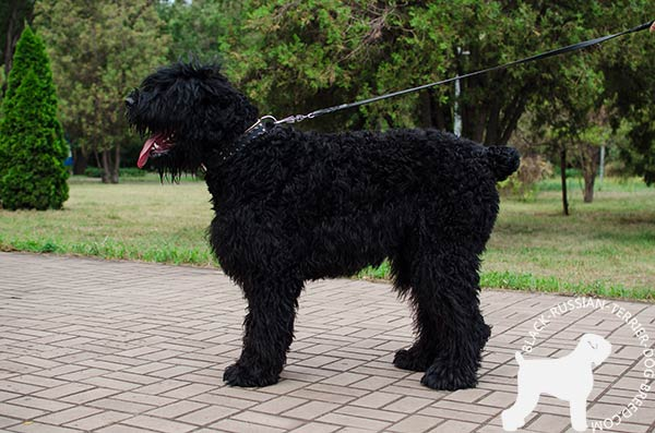 Black Russian Terrier collar for easy handling