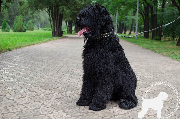 Effective training Black Russian Terrier leather collar