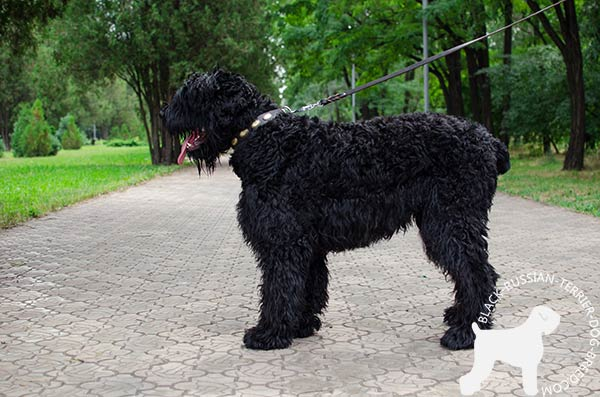 Black Russian Terrier elegant style natural leather collar
