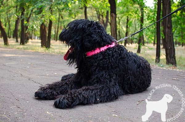 Black Russian Terrier painted pink collar