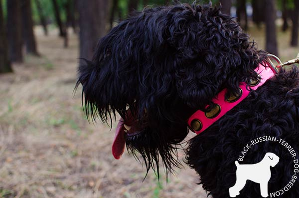 Black Russian Terrier collar decorated with brass plates