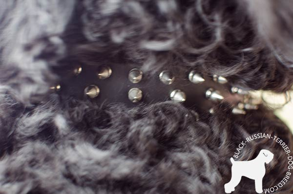 Black Russian Terrier collar with fixed nickel spikes
