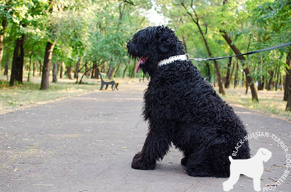 Black Russian Terrier decorated leather collar for walking in fashion