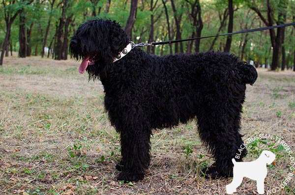 Fashionable Black Russian Terrier leather collar