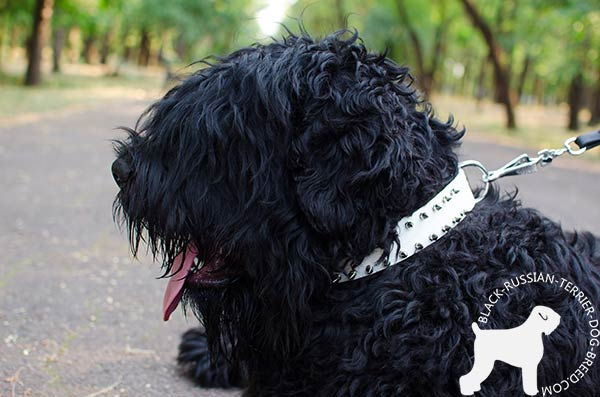 Black Russian Terrier white collar with silvery nickel spikes