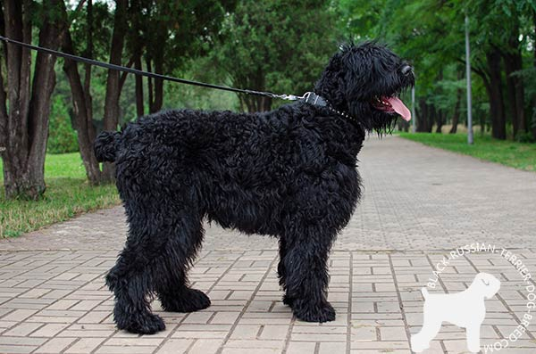 Black Russian Terrier black leather collar with rust-proof fittings for basic training