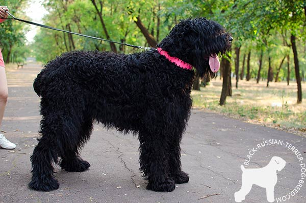 Black Russian Terrier pink leather collar painted with spikes set in row for utmost comfort