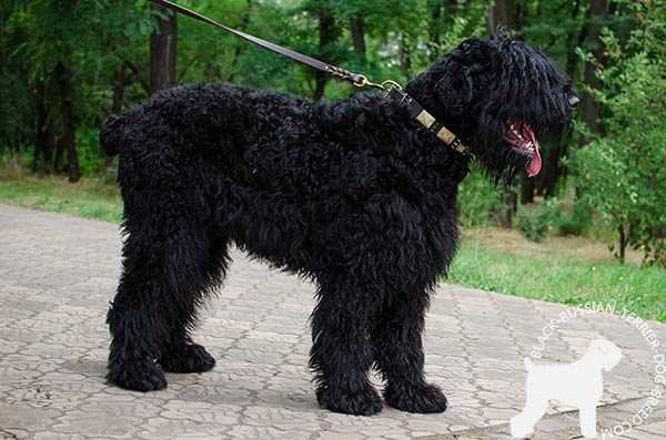 Black Russian Terrier leather collar of high quality with d-ring for leash attachment for any activity