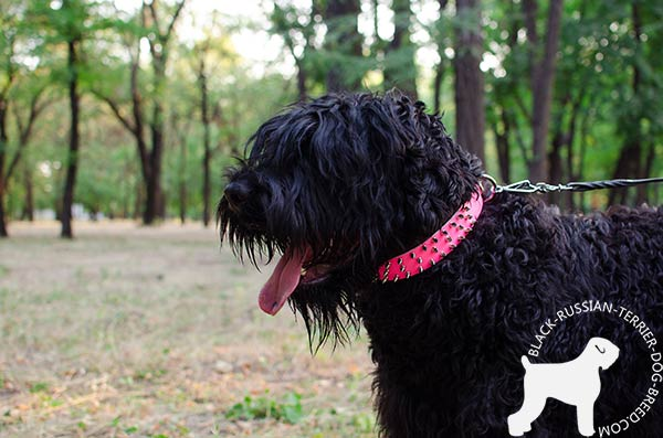 Black Russian Terrier pink leather collar of lightweight material spiked for daily walks