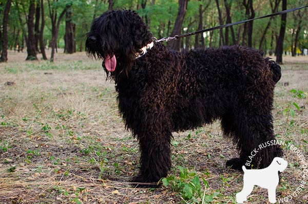 Black Russian Terrier white leather collar with rust-free fittings for daily walks
