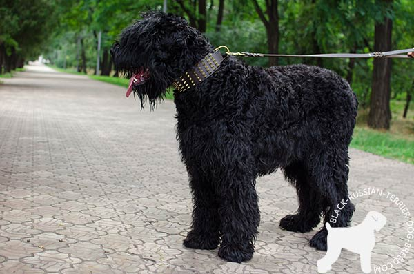 Black Russian Terrier leather collar of lightweight material with traditional buckle for basic training