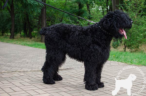 Black Russian Terrier black leather collar free breathing with traditional buckle for walking