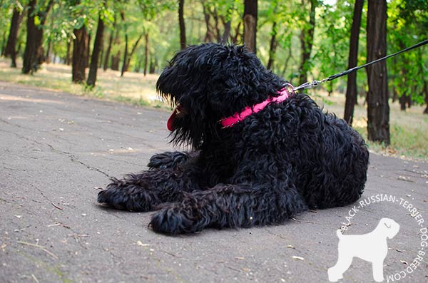 Black Russian Terrier pink leather collar with rust-proof hardware for basic training
