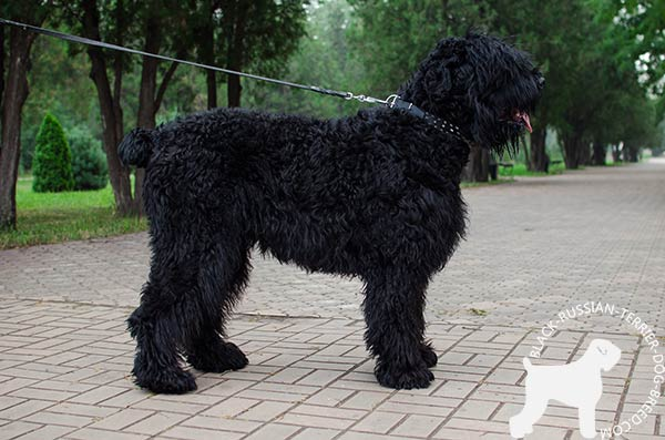 Black Russian Terrier black leather collar with corrosion resistant hardware for professional use