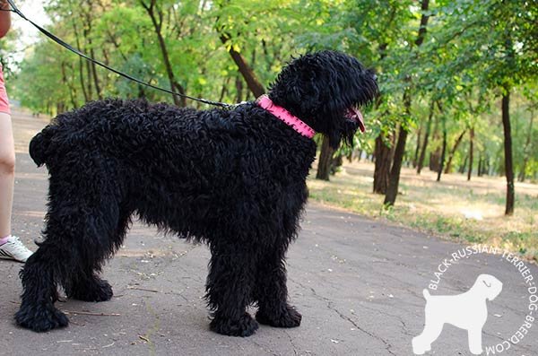 Black Russian Terrier pink leather collar with reliable spikes for any activity