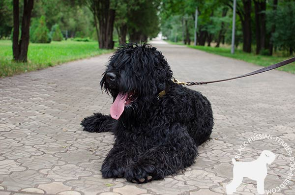 Black Russian Terrier leather collar of genuine materials adorned with spikes and plates for better comfort
