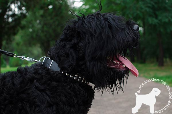 Black Russian Terrier leather collar with rustless studs for quality control