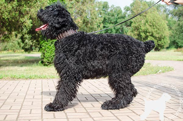 Black Russian Terrier brown leather collar with rustless hardware for daily walks