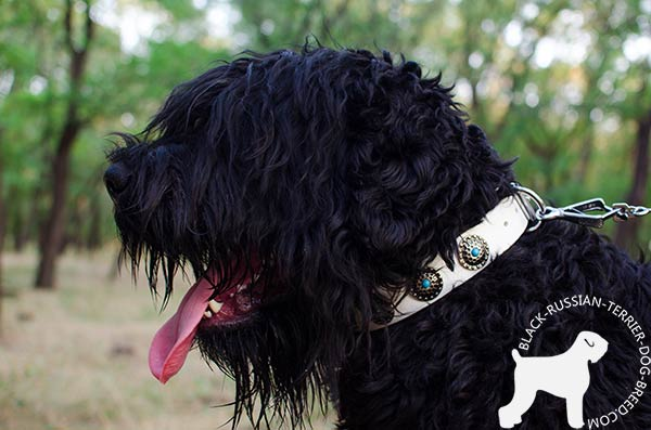 Black Russian Terrier leather collar of classic design with traditional buckle for any activity