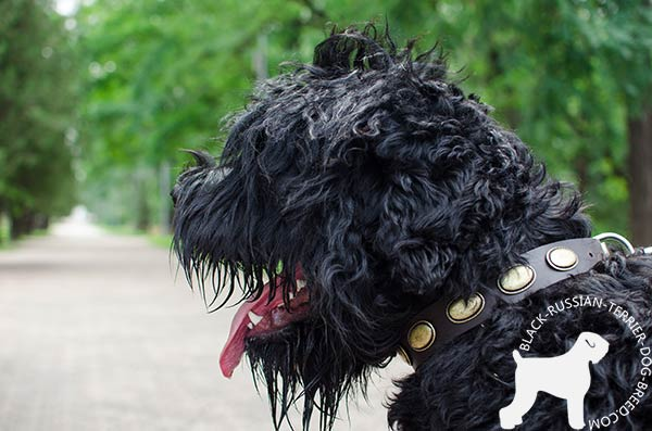 Black-Russian-Terrier leather-collar with strong fittings for quality control
