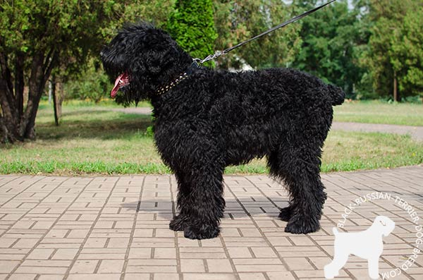 Black Russian Terrier black leather collar with non-corrosive spikes for daily walks