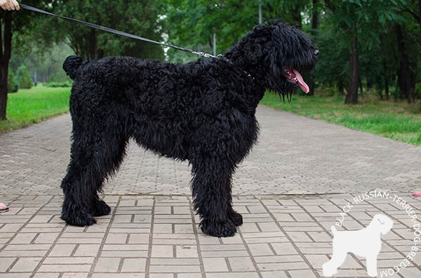 Black Russian Terrier leather-collar with corrosion resistant fittings for better comfort