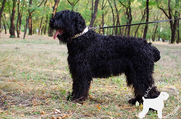 Black Russian Terrier white leather collar easy-to-adjust with d-ring for leash attachment for quality control