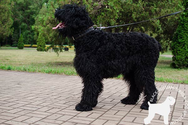Black Russian Terrier leather-collar easy-to-adjust with d-ring for leash attachment for basic training