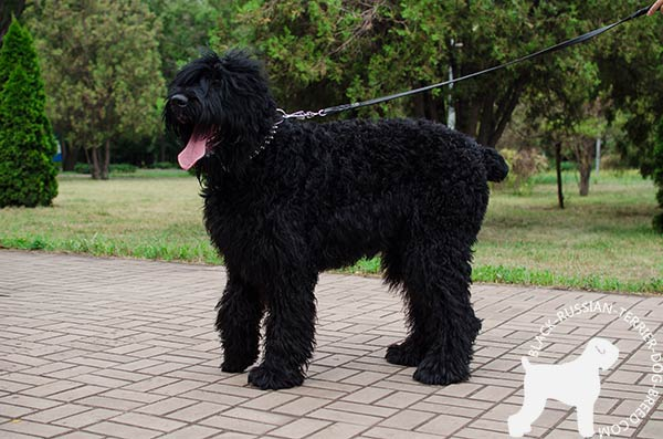 Black Russian Terrier black leather collar with rustless fittings for utmost comfort