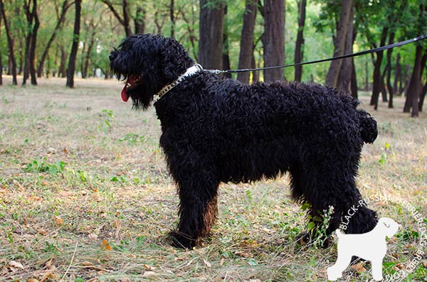 Black Russian Terrier white leather collar of high quality with traditional buckle for improved control