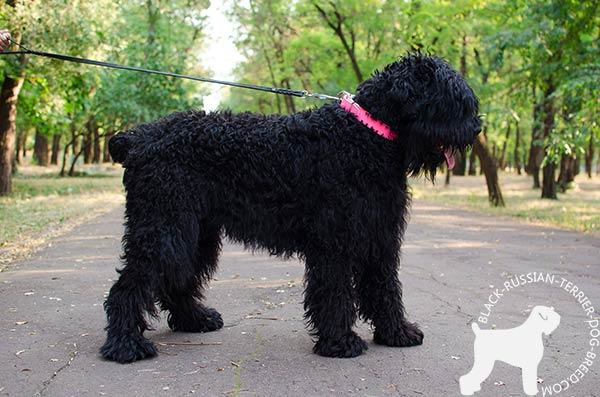 Black Russian Terrier pink leather collar for snug fit with d-ring for leash attachment for quality control