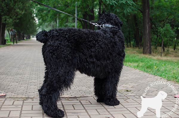 Black Russian Terrier black leather collar with duly riveted hardware for daily walks