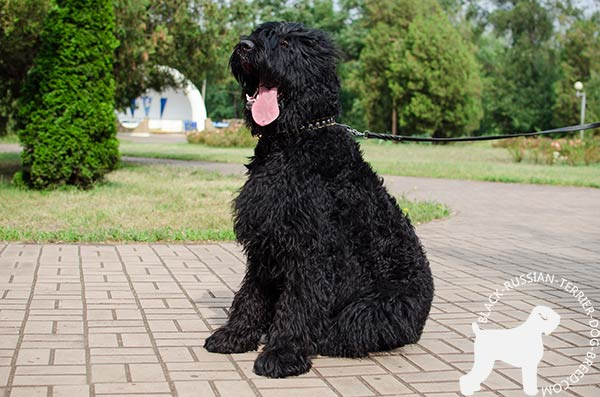 Black Russian Terrier black leather collar with durable hardware for daily walks