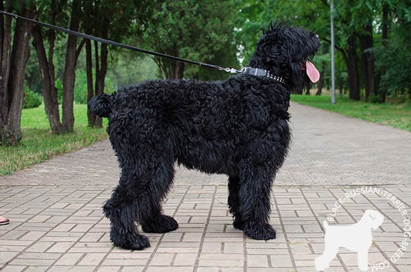 Black Russian Terrier black leather collar of classic design with studs for pulling activity