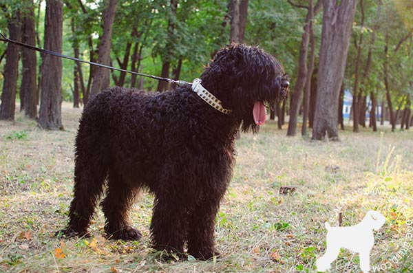 Black Russian Terrier white leather collar with duly riveted fittings for better comfort