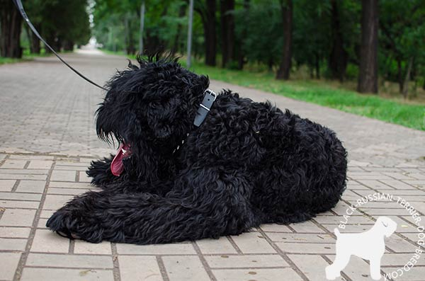 Black Russian Terrier black leather collar with reliable spikes for stylish walks