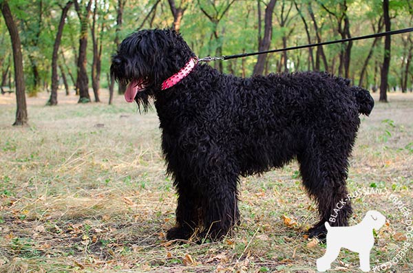 Black Russian Terrier pink leather collar of high quality with spikes for stylish walks