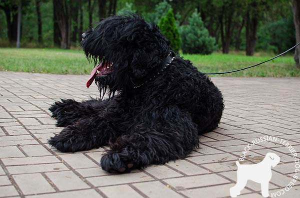 Black Russian Terrier black leather collar with rust-resistant fittings for professional use
