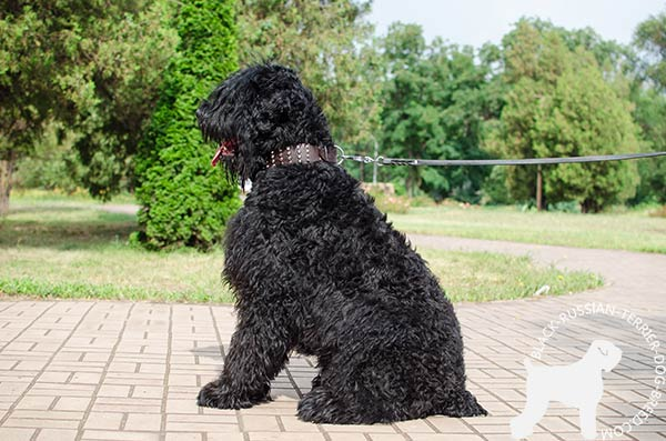 Black Russian Terrier brown leather collar extra wide with studs for basic training