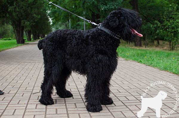 Black Russian Terrier black leather collar with corrosion resistant spikes for stylish walks