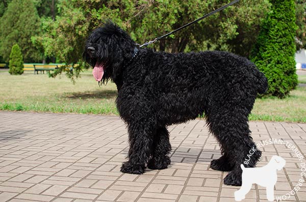 Black Russian Terrier black leather collar of high quality with handset decoration for stylish walks