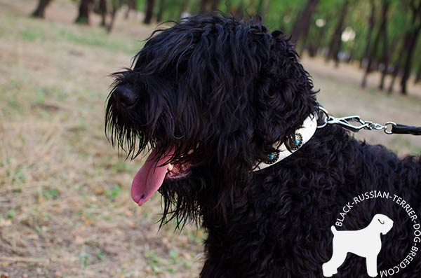 Black Russian Terrier white leather collar with rust-resistant hardware for walking in style