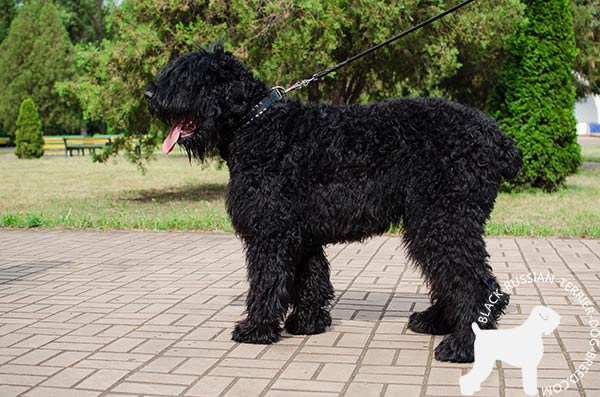 Black Russian Terrier black leather collar of classic design with d-ring for leash attachment for basic training