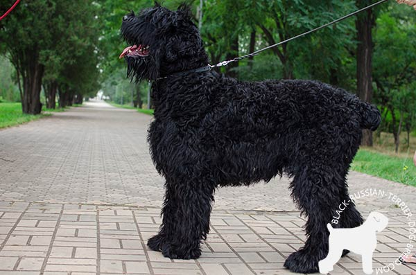 Black Russian Terrier leather-collar with non-corrosive fittings for daily activity