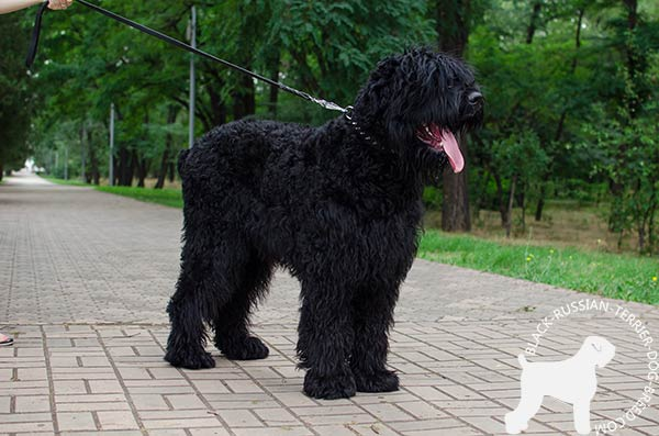 Black Russian Terrier white leather collar of lightweight material with handset spikes for walking