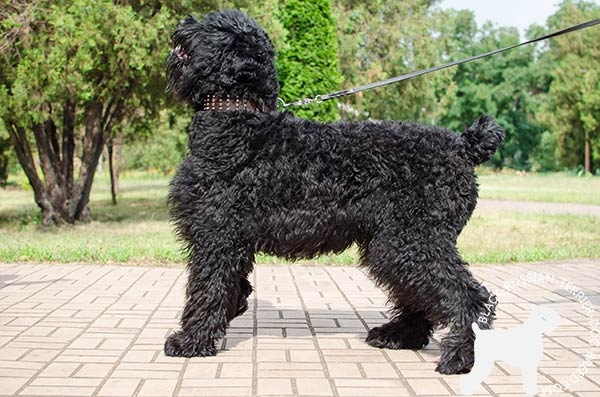 Black Russian Terrier brown leather collar of lightweight material with studs for walking