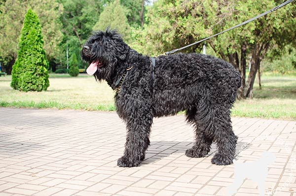 Non-restrictive Black Russian Terrier leather harness