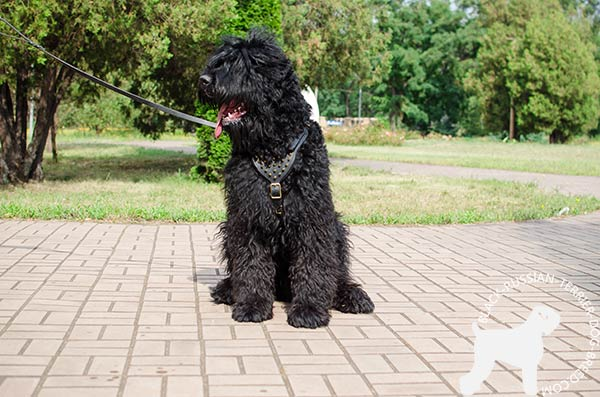Black Russian Terrier harness for walking and off-leash training